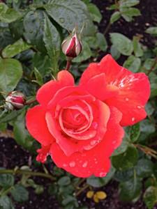 Empress of the Garden: 7 Sweet Rose Treats