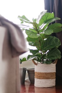 3 Reasons Why Your Fiddle Leaf Fig Is Growing Tiny Wrinkled Leaves