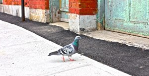 Pigeons and people play the odds when rewards are higher
