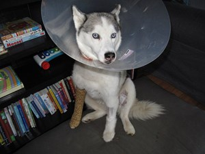 Husky survives shooting after being mistaken for a wolf